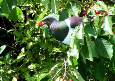 I.O.T.W.27-7-15 Kereru - native wood pigeon in back garden cherry tree