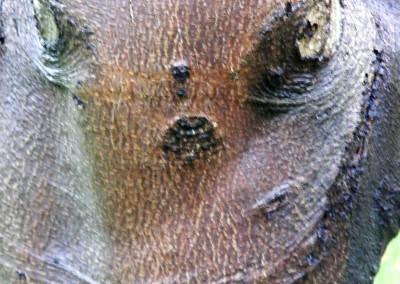 I.O.T.W.3-8-15 Tree-troll Dunedin